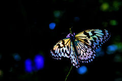 πεταλούδα ζωηρόχρωμη Στοκ Εικόνες