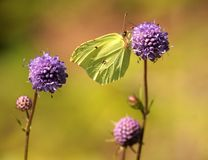 Πεταλούδα θειαφιού Στοκ φωτογραφία με δικαίωμα ελεύθερης χρήσης