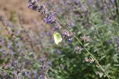 Πεταλούδα θειαφιού, rhamni Gonepteryx, πεταλούδα, κίτρινη πεταλούδα Στοκ φωτογραφία με δικαίωμα ελεύθερης χρήσης