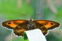 Πεταλούδα θυρωρών (tithonus Pyronia) Στοκ φωτογραφίες με δικαίωμα ελεύθερης χρήσης