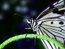 Πεταλούδα ικτίνων εγγράφου Στοκ φωτογραφίες με δικαίωμα ελεύθερης χρήσης