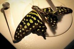 Πεταλούδα κάτω από το μικροσκόπιο Στοκ φωτογραφία με δικαίωμα ελεύθερης χρήσης