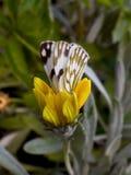 Πεταλούδα 1 κήπων στοκ εικόνες με δικαίωμα ελεύθερης χρήσης