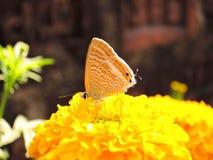 Πεταλούδα κίτρινο marigold Στοκ Εικόνες