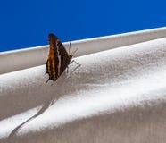 Πεταλούδα και άσπρες κουρτίνες Στοκ Εικόνες