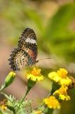 Πεταλούδα και κίτρινο λουλούδι Στοκ φωτογραφίες με δικαίωμα ελεύθερης χρήσης