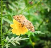 Πεταλούδα και λουλούδια Στοκ Εικόνα