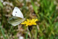 Πεταλούδα και πικραλίδα Στοκ εικόνες με δικαίωμα ελεύθερης χρήσης