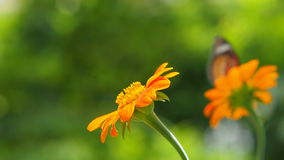 Πεταλούδα και πορτοκαλιά λουλούδια απόθεμα βίντεο