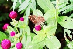 Πεταλούδα και ρόδινα λουλούδια στον κήπο στοκ εικόνες