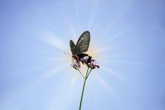 Πεταλούδα κινηματογραφήσεων σε πρώτο πλάνο στο λουλούδι με το φως του ήλιου Στοκ φωτογραφία με δικαίωμα ελεύθερης χρήσης