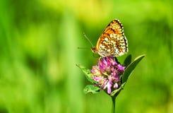 Πεταλούδα κινηματογραφήσεων σε πρώτο πλάνο στο λουλούδι, πεταλούδα και λουλούδι, πεταλούδα σε ένα μουτζουρωμένο υπόβαθρο λουλουδι Στοκ Φωτογραφία