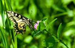Πεταλούδα κινηματογραφήσεων σε πρώτο πλάνο στο λουλούδι, πεταλούδα και λουλούδι, πεταλούδα σε ένα μουτζουρωμένο υπόβαθρο λουλουδι Στοκ φωτογραφίες με δικαίωμα ελεύθερης χρήσης