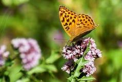 Πεταλούδα κινηματογραφήσεων σε πρώτο πλάνο στο λουλούδι, πεταλούδα και λουλούδι, πεταλούδα σε ένα μουτζουρωμένο υπόβαθρο λουλουδι Στοκ εικόνες με δικαίωμα ελεύθερης χρήσης