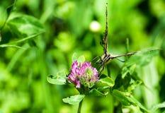 Πεταλούδα κινηματογραφήσεων σε πρώτο πλάνο στο λουλούδι, πεταλούδα και λουλούδι, πεταλούδα σε ένα μουτζουρωμένο υπόβαθρο λουλουδι Στοκ Εικόνα