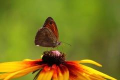 Πεταλούδα κινηματογραφήσεων σε πρώτο πλάνο στο λουλούδι Στοκ Φωτογραφία