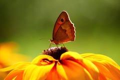 Πεταλούδα κινηματογραφήσεων σε πρώτο πλάνο στο λουλούδι Στοκ φωτογραφία με δικαίωμα ελεύθερης χρήσης