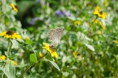 Πεταλούδα κινηματογραφήσεων σε πρώτο πλάνο στο λουλούδι Στοκ Εικόνα