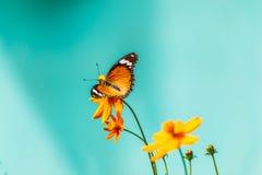 Πεταλούδα κινηματογραφήσεων σε πρώτο πλάνο στο λουλούδι & x28 Κοινή τίγρη butterfly& x29  Στοκ φωτογραφία με δικαίωμα ελεύθερης χρήσης