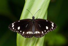 Πεταλούδα, κοινός κόρακας Στοκ εικόνες με δικαίωμα ελεύθερης χρήσης