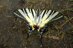 Πεταλούδα Κοινό μπλε Στοκ φωτογραφία με δικαίωμα ελεύθερης χρήσης