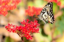 Πεταλούδα κόκκινα λουλούδια Στοκ φωτογραφία με δικαίωμα ελεύθερης χρήσης