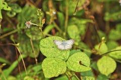 Πεταλούδα, Κόστα Ρίκα Στοκ Φωτογραφία