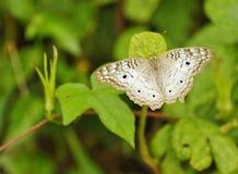 Πεταλούδα, Κόστα Ρίκα Στοκ Φωτογραφίες