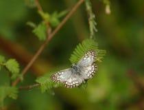 Πεταλούδα, Κόστα Ρίκα Στοκ εικόνες με δικαίωμα ελεύθερης χρήσης