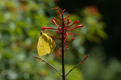 Πεταλούδα - μεγάλο πορτοκαλί θείο - πλάγια όψη στοκ φωτογραφία με δικαίωμα ελεύθερης χρήσης