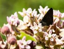Πεταλούδα μεταξύ των ανθών Στοκ Εικόνα