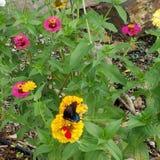 Πεταλούδα μεταξύ των ζωηρόχρωμων λουλουδιών σε έναν κήπο Στοκ Εικόνες