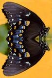 Πεταλούδα μεταλλάξεων Στοκ εικόνες με δικαίωμα ελεύθερης χρήσης
