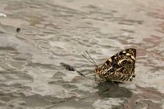 Πεταλούδα με την κλειστή περίκομψη κατανάλωση φτερών Στοκ Εικόνα
