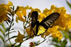 Πεταλούδα με τη μυρωδιά λουλουδιών Στοκ Εικόνα