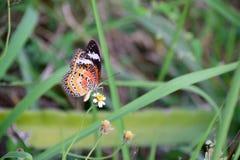 Πεταλούδα με τη μυρωδιά λουλουδιών Στοκ Εικόνες