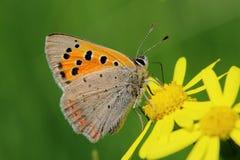 Πεταλούδα - μικρός χαλκός (phlaeas Lycaena) στο λιβάδι στοκ φωτογραφία