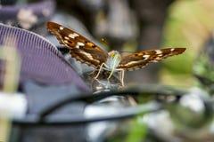 Πεταλούδα μικρότεροι πορφυροί αυτοκράτορας & x28 Apatura ilia& x29  Στοκ Εικόνες