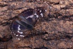 Πεταλούδα - μικρότερος πορφυρός αυτοκράτορας (Apatura Ηλεία) Στοκ Εικόνες
