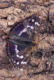 Πεταλούδα - μικρότερος πορφυρός αυτοκράτορας (Apatura Ηλεία) Στοκ εικόνα με δικαίωμα ελεύθερης χρήσης