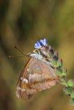 Πεταλούδα - μικρότερος πορφυρός αυτοκράτορας (Apatura Ηλεία) Στοκ Φωτογραφία