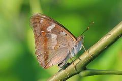 Πεταλούδα - μικρότερος πορφυρός αυτοκράτορας (Apatura Ηλεία) Στοκ Φωτογραφίες
