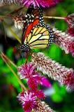 Πεταλούδα μοναρχών στα λουλούδια στοκ φωτογραφίες με δικαίωμα ελεύθερης χρήσης