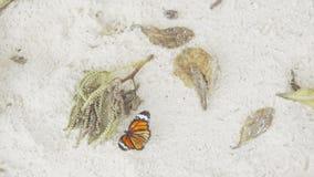 Πεταλούδα μοναρχών στην αμμώδη παραλία απόθεμα βίντεο