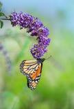 Πεταλούδα μοναρχών στο λουλούδι θάμνων πεταλούδων Στοκ Εικόνες