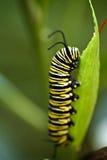 Πεταλούδα μοναρχών του Caterpillar στοκ εικόνα