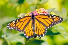 Πεταλούδα μοναρχών στοκ φωτογραφίες με δικαίωμα ελεύθερης χρήσης