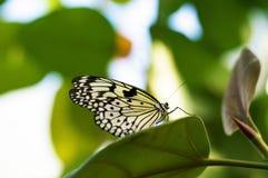 Πεταλούδα μοναρχών Στοκ εικόνες με δικαίωμα ελεύθερης χρήσης