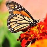 Πεταλούδα μοναρχών Marigold στο λουλούδι Στοκ Εικόνες