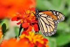 Πεταλούδα μοναρχών Marigold στο λουλούδι Στοκ Φωτογραφία